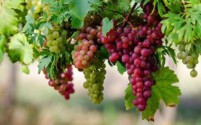 druiven in de tuin