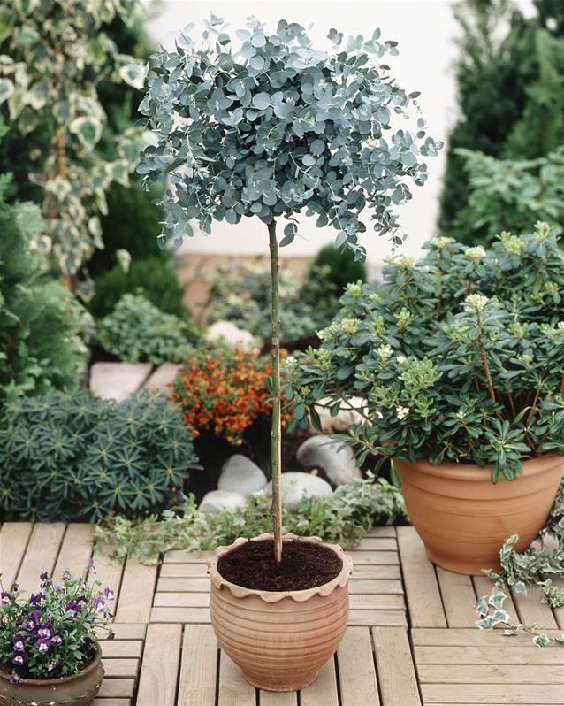 eucalyptus plant in de mediterrane tuin