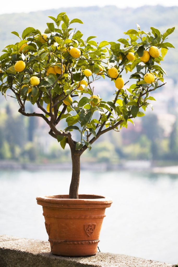 kleine citroenboom in de tuin