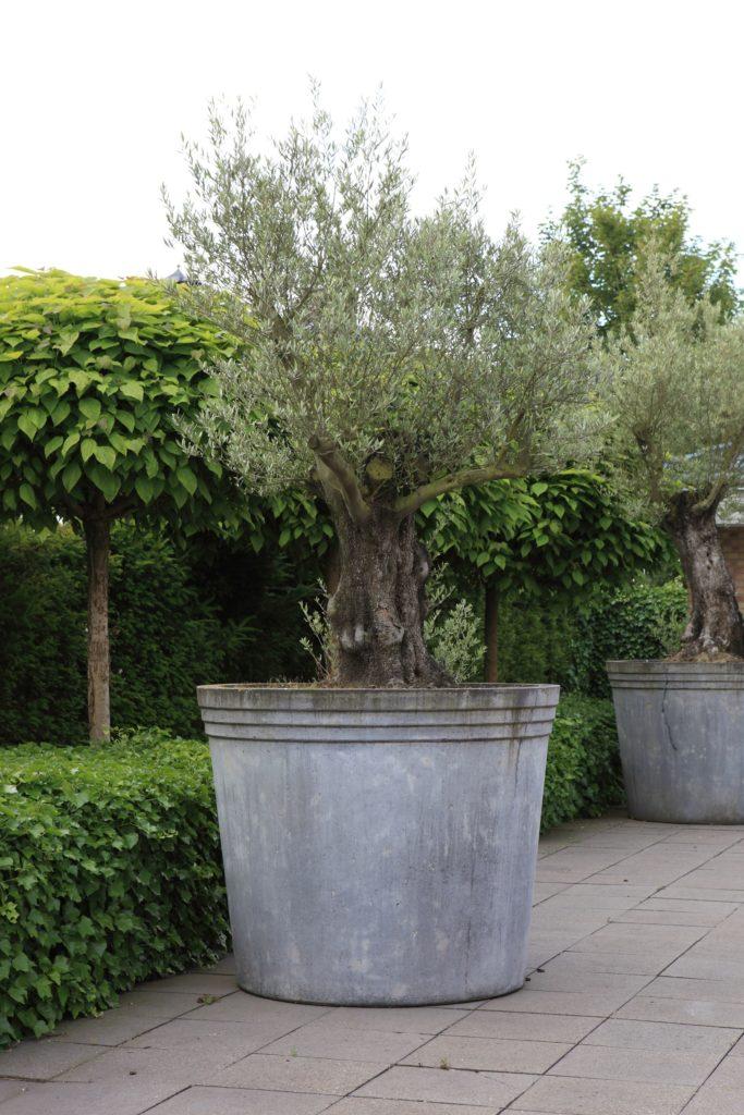 olijfboom in mediterraans plantenbak